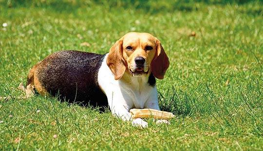 Beagle mit Knochen
