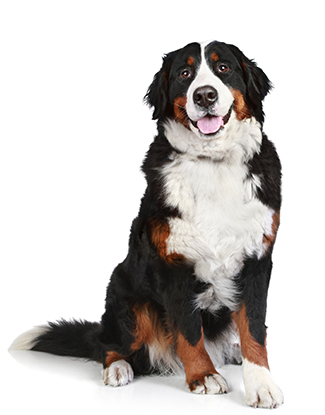 Portrait eines Berner Sennenhundes