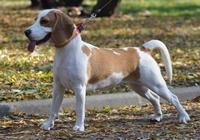Beagle an der Leine