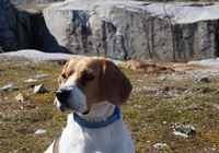 Beagle im Urlaub