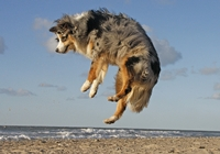 Australian Shepherd hüpft