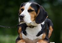 dreifarbiger Beagle
