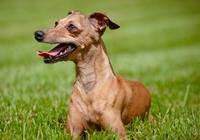 Italian Greyhound auf der Wiese