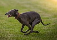 Italian Greyhound rennt