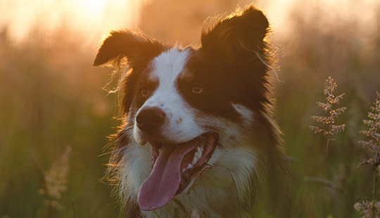 Border Collie beim Sonnenuntergang