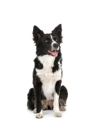 Portrait eines Border Collies