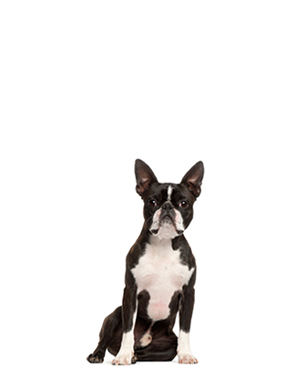 Portrait eines Boston Terriers