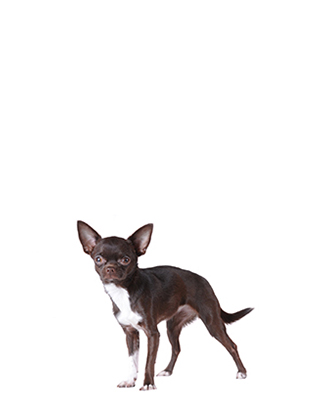 Portrait eines Chihuahuas
