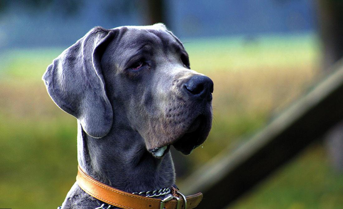 Deutsche Dogge mit Halsband