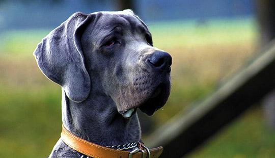 blaue Deutsche Dogge