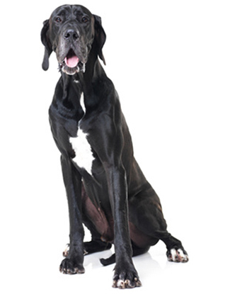 Portrait einer Deutschen Dogge