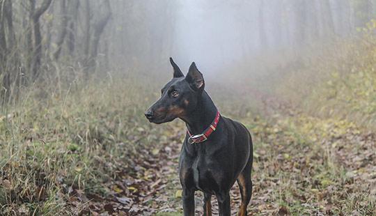 Dobermann im Wald