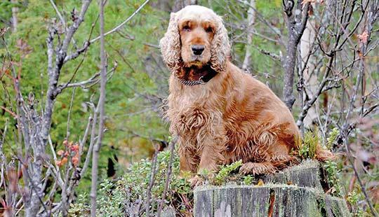 Englischer Cocker Spaniel im Wald