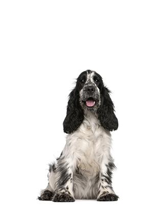 Englischer Cocker Spaniel Aktiver Begleiter Hundelandde