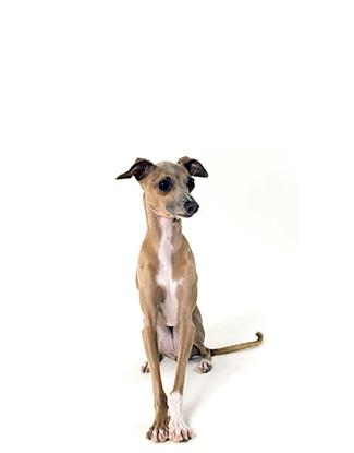 Portrait des Italian Greyhounds
