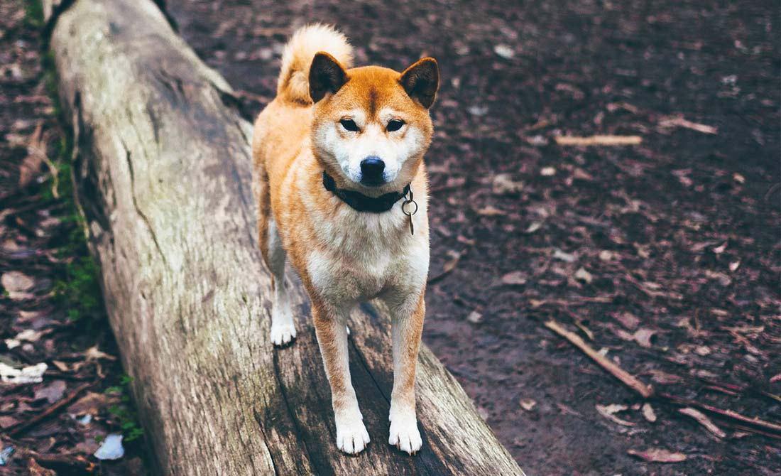 Shiba Inu auf einem Holzstamm