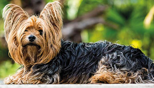 Yorkshire Terrier im Grünen