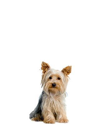 Portrait eines Yorkshire Terriers