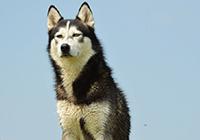 Husky vor blauem Himmel