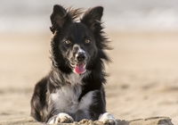Border Collie im Wind