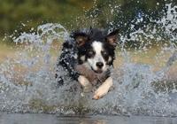 Border Collie im Wasser