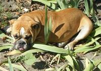 Englische Bulldogge im Feld