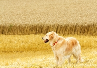 Golden Retriever im Feld