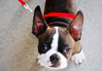 Boston Terrier an roter Leine
