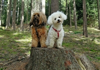 Bichon Frisé mit Hundefreund