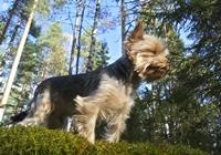 Yorkshire Terrier im Wald