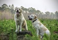 Labrador auf Waldlichtung