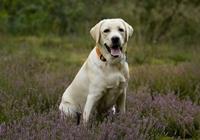 Labrador im Feld