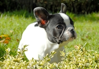 Boston Terrier im Gras