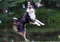 Border Collie springt