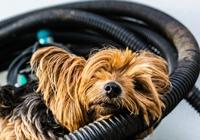 Yorkshire Terrier auf Röhren