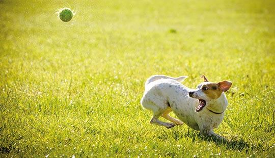 Jack Russell fängt Ball