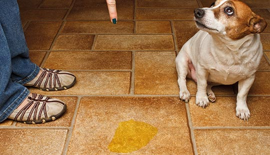 Hund mit Urinpfütze1